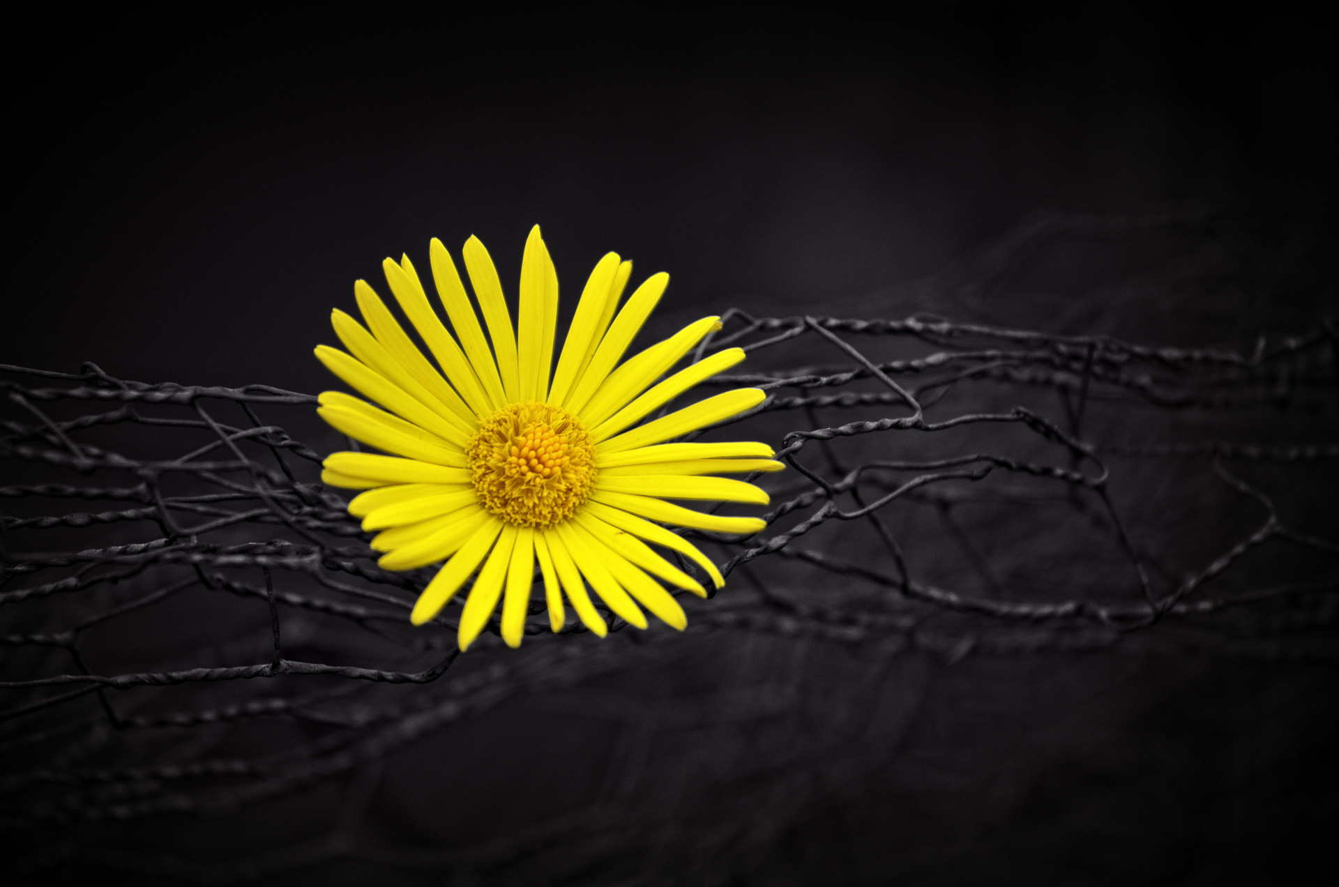 Yellow Flower Fence Dark Black Background Hd Flowers 4k