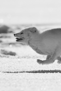 360x640 Arctic Fox Running