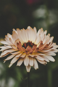 720x1280 Aster Flowers