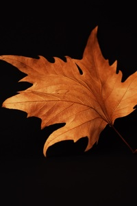 640x1136 Autumn Leaf Black Background