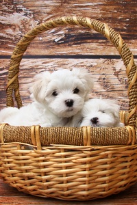 640x1136 Basket Of Puppies