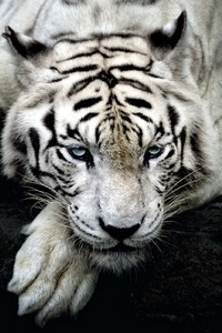 2160x3840 Big White Tiger