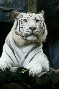 Tiger 720x1280 Resolution Wallpapers Moto G X Xperia Z1 Z3 Compact