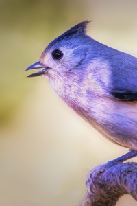 720x1280 Black Crested Titmouse