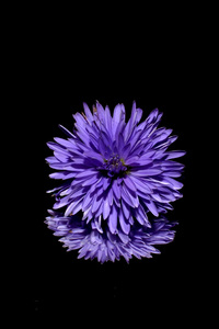 240x320 Blossom Purple Flower Black Background Reflection