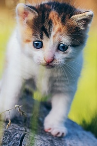 480x800 Blue Eyes Cat