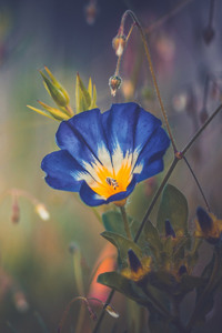 320x480 Blue Morning Glory Flower