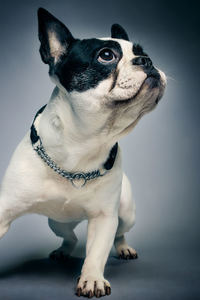 2160x3840 Boston Terrier