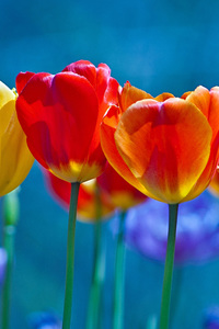 240x320 Brightly Colored Tulips
