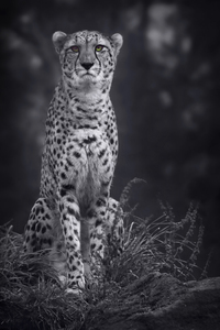 360x640 Cheetah Monochrome 4k