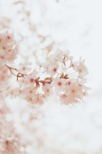 640x960 Cherry Blossoms Flowers