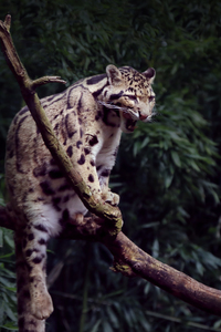 320x568 Clouded Leopard Yawning 5k