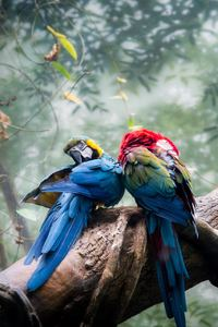 800x1280 Colorful Parrots Couple