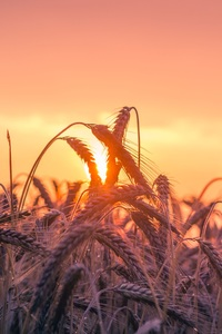 640x960 Cornfield Sunset 4k 5k