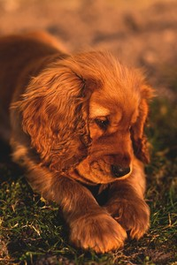 Cute Small Puppy Brown Hairs