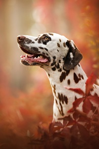 240x320 Dalmatian Breed Dog