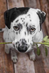 640x1136 Dalmatian Dog Holding Red Flower In The Mouth