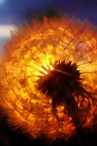 480x800 Dandelion Amazing Sunset