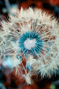 1125x2436 Dandelion Plant Close Up Macro