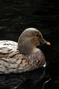 1440x2560 Duck In Pond