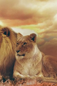 Female Male Lions
