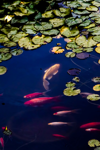320x480 Fish In Pond