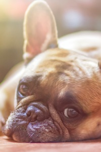 640x1136 French Bull Dog