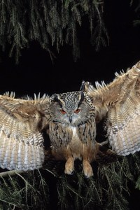 240x320 Great Horned Owl