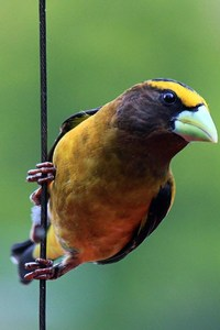 1440x2560 Grosbeak Bird