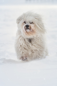 640x1136 Havanese Running In Sbow