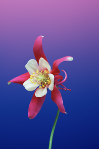 720x1280 Ios 11 Flower Aquilegia