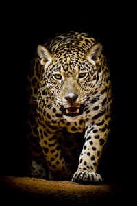 720x1280 Leopard 4k Black Background