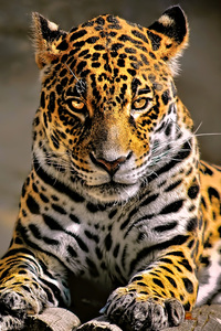 720x1280 Leopard 4k Glowing Eyes