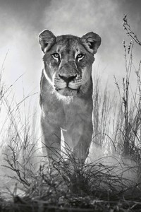320x480 Lion 4k Black And White