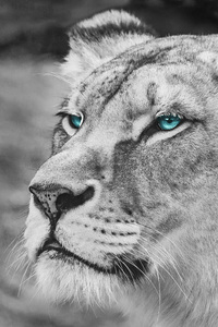Lion Blue Eyes Monochrome 5k