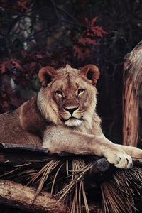 320x568 Lion In Zoo 4k