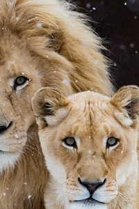 320x568 Lion With Cub