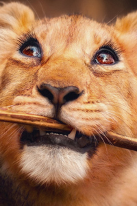 540x960 Lion With Stick In Mouth 4k