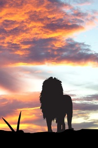 Lions Africa Silhouette Sunset