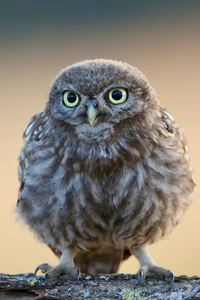800x1280 Little Cute Owl 4k