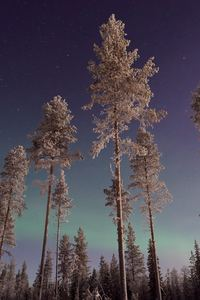 Long Pine Trees Winter Northern Lights