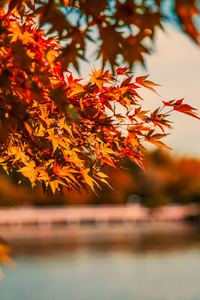 480x854 Maple Tree Autumn Lake 5k