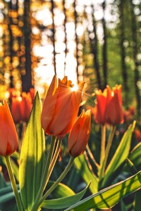 Orange Tulips Hd