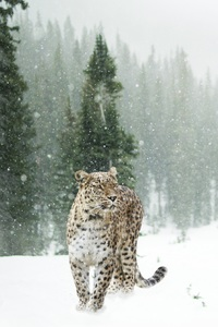 720x1280 Persian Leopard In Snow 5k