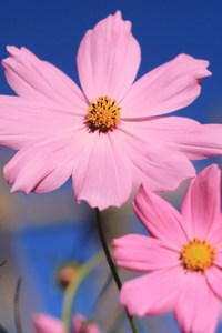 Pink Cosmos Flower
