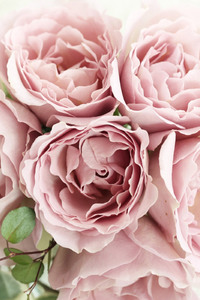 540x960 Pink Roses