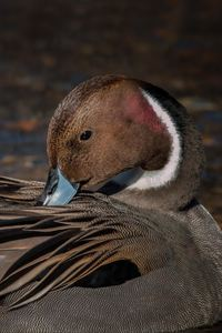240x320 Pintail Duck