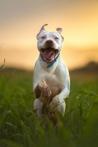 Pitbull Dog Breed Running