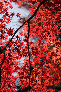 Red Leaves Tree Close Up 5k