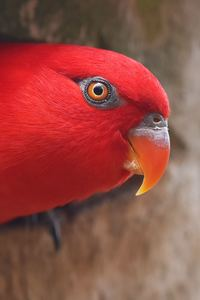 480x854 Red Parrot Portrait